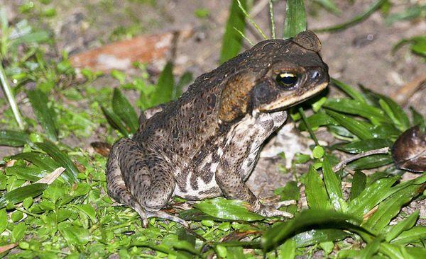 Жаба ага (Bufo marinus)