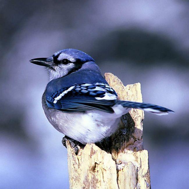 Размер голубой сойки составляет около 30 см.