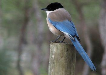 foto modrá straka