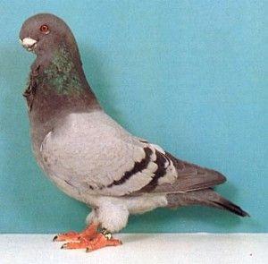 Голуби английская сова