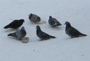 Kŕdeľ holubov Tippler