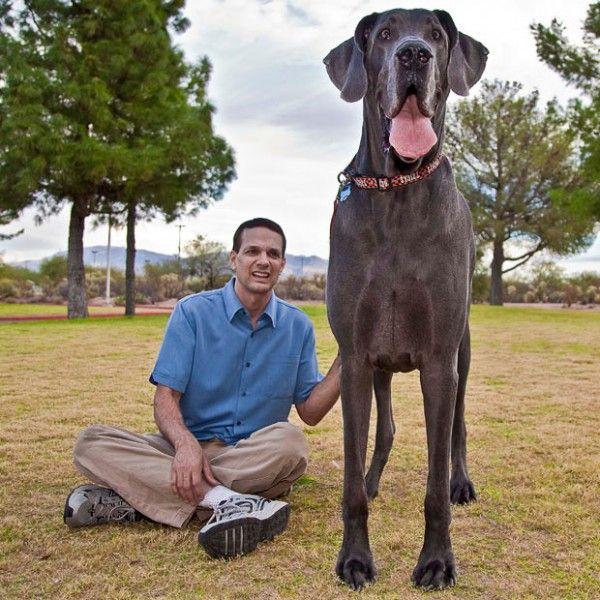 Plavi pas po imenu George - najveći pas na svijetu