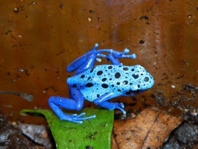 Обитают голубые древолазы на территории Южной Америки.