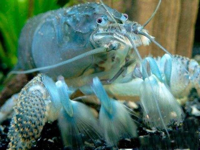 cancer cubanez albastru (Procambarus cubensis).
