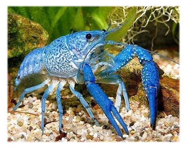 Pubertății la crabi albastru are loc în 8-10 luni.