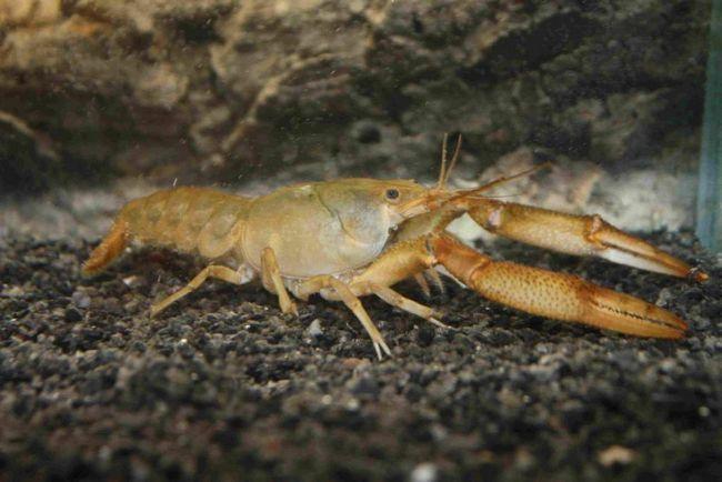 Alimente pentru crabi ar trebui să fie întotdeauna pe fundul acvariului.