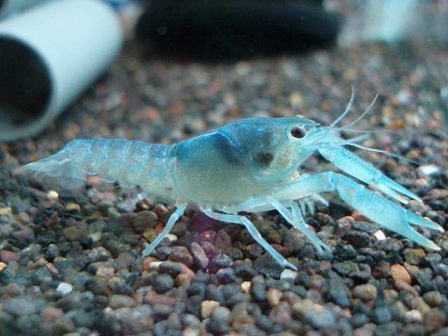 Pentru membrii caracteristica speciilor de culoare albastru intens a corpului, în legătură cu care acestea sunt utilizate ca un animal acvariu decorativ.