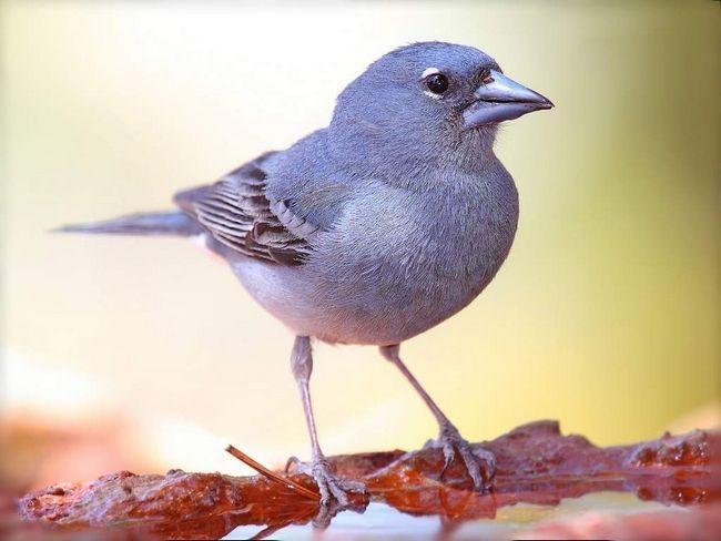 Plava Finch (Fringilla teydea).