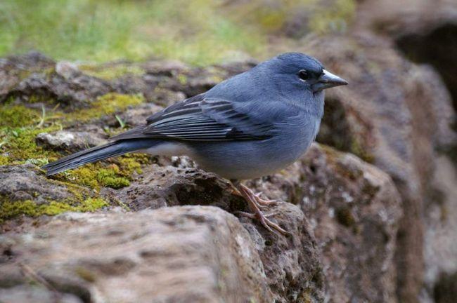 potrazi za hranom ptice su u borove šume, dijelom na obroncima planine s gustom makijom.