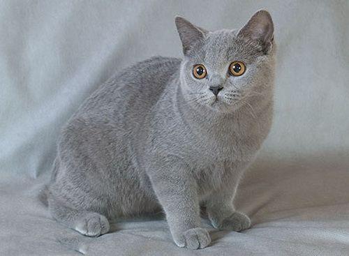 Britanski Blue Cat british Blue Cat