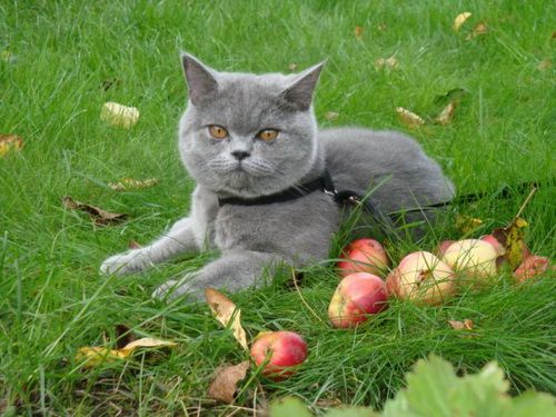 British blue mačići