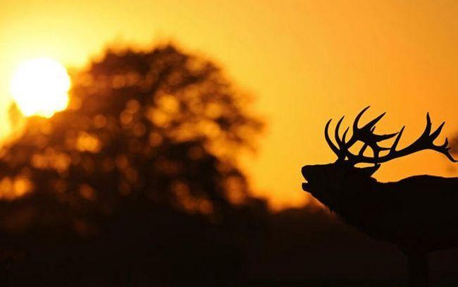 Říje jelenů v parku Richmond