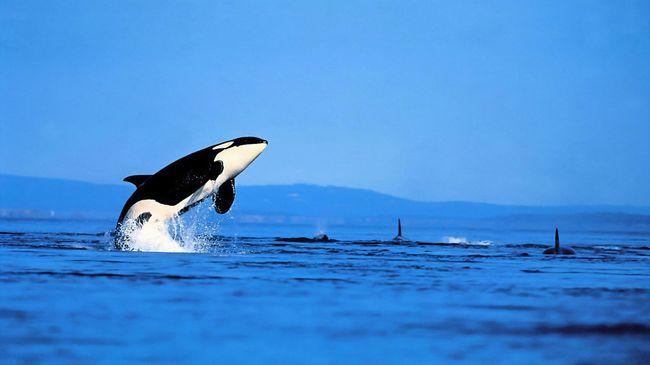 Orca je stekao reputaciju dobrim razlogom kit ubojica. Protive se u okeanu može biti, osim da je grbavi kitovi.