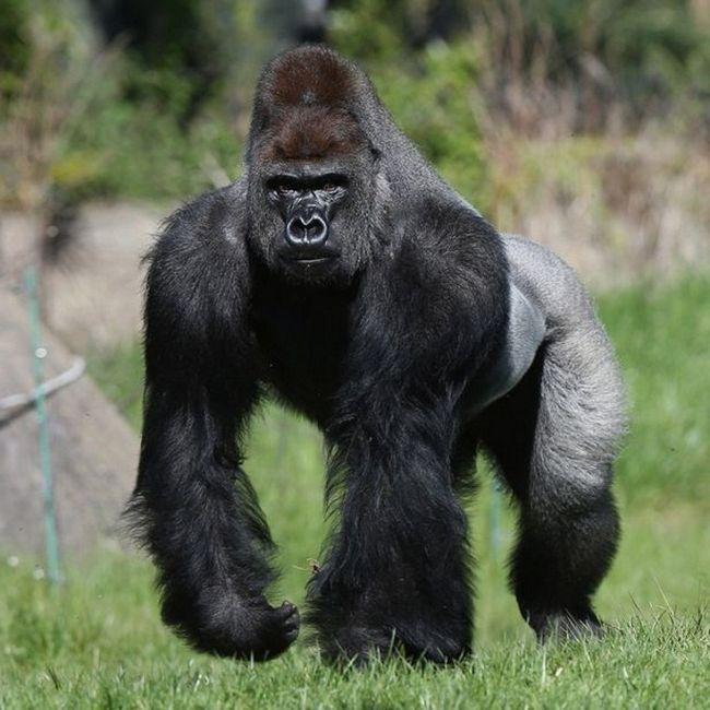 Cumbuco - muški zapadne nizinskih gorila iz Londonski zoološki vrt.