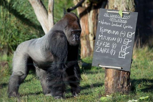 Cumbuco - jedini muški među četiri gorile Londonski zoološki vrt.