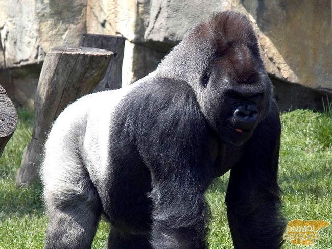 Gorilla sa srebrnom leđa