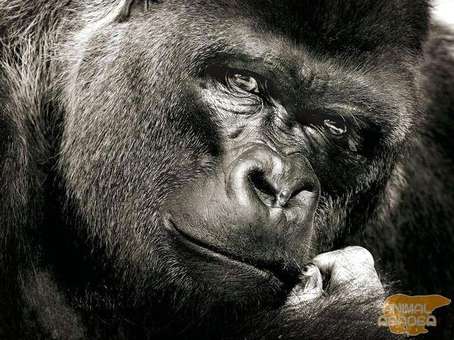 Gorilla (Gorilla) - najveći primati danas žive
