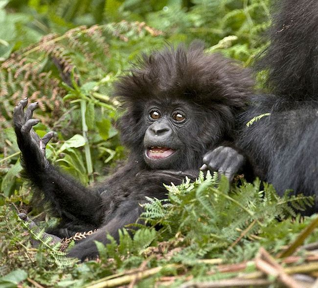 Gorile: živi na ivici
