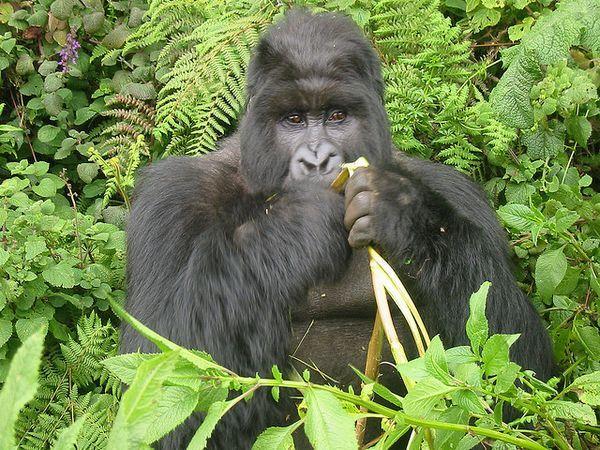 Gorila za stolom