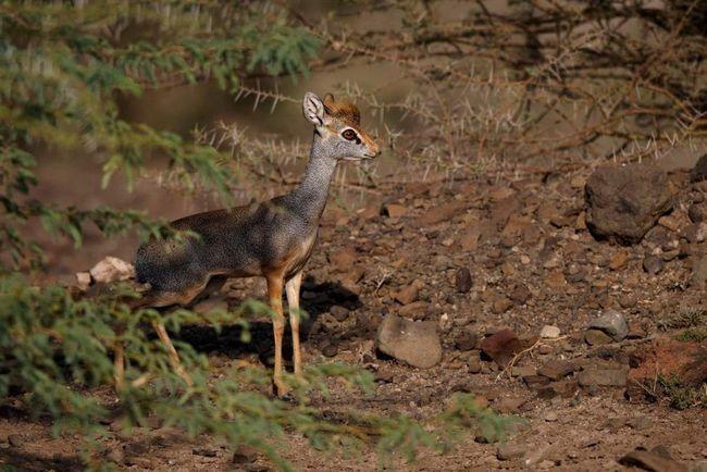 Горный дикдик - миниатюрная антилопа, распространенная в саваннах и полупустынях центральной и восточной Африки.