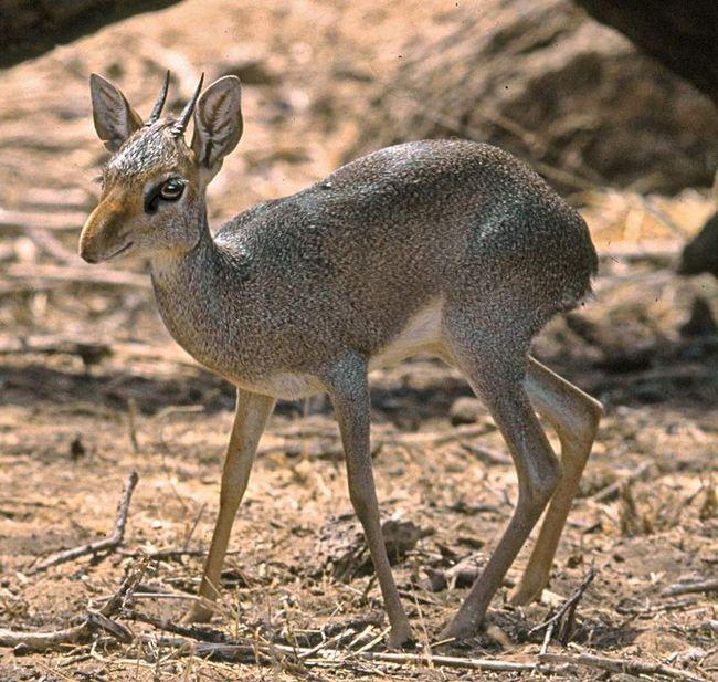 Эритрейский дикдик — исключительно травоядное животное.