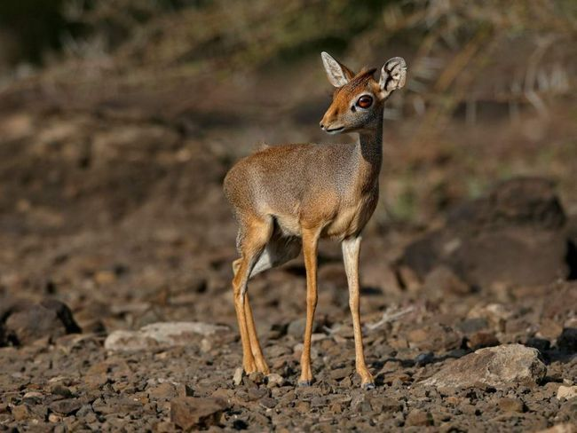 Самки горных дикдиков, как правило, чуть крупнее самцов, но самцы бесспорно доминируют в семейной жизни.