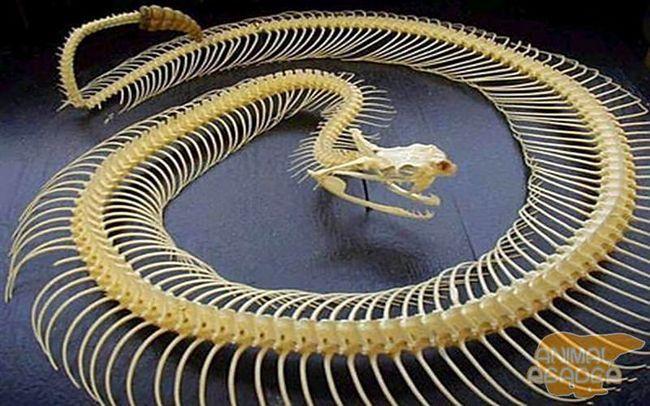 Skeleton zvečarka