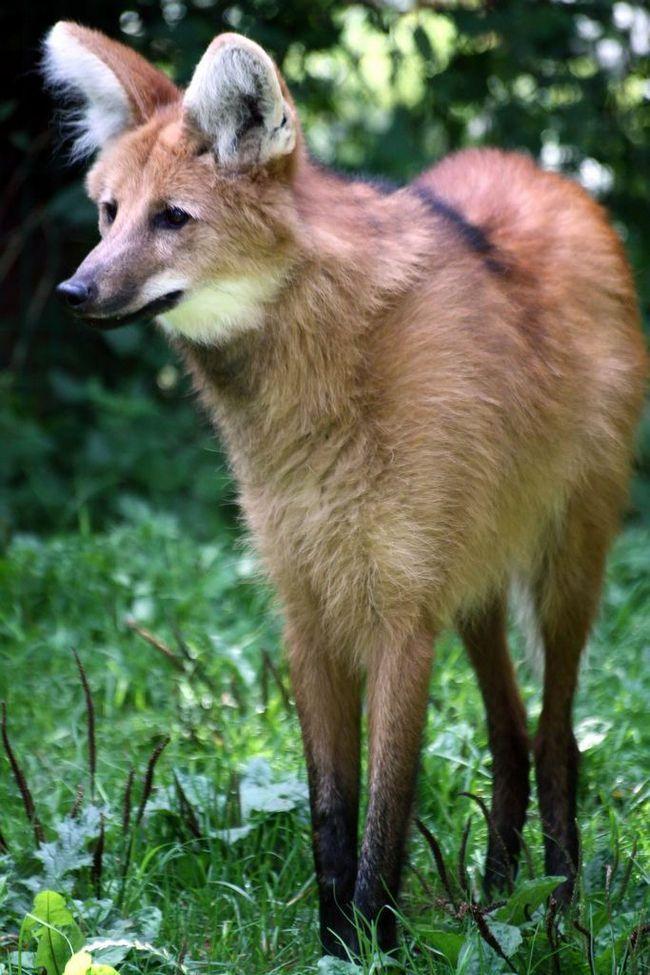 Гривистый волк (лат. Chrysocyon brachyurus)