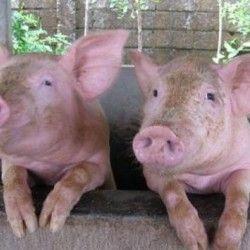Grupa svinje mudro