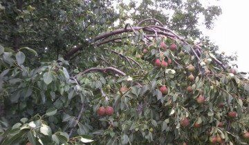 Grane savijaju pod težinom plodova, ru.badgood.info