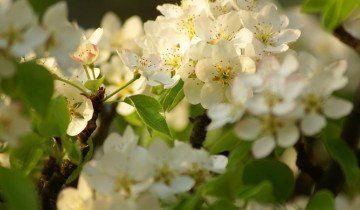 Od kruške cvjetovi, x32.in.ua
