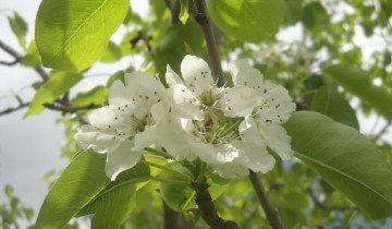 Cvijeće kruška, vahemart.livejournal.com