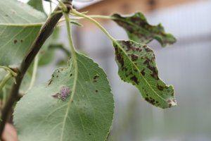 Oštećeni lišće kruške
