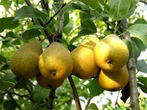 Sorti voća