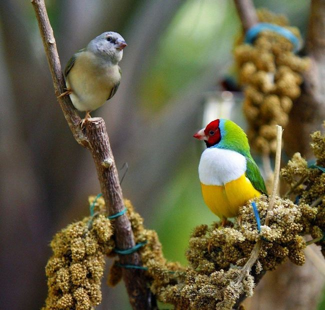 Gouldian Finch (lat. Chloebia gouldiae)