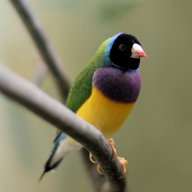 Gouldian Finch (Erythrura gouldiae).