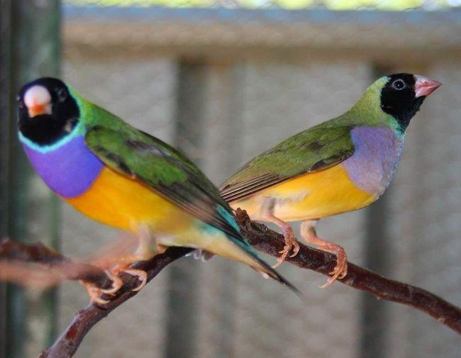 Boju glave mladih ptica - sivi, ali to varira sa postizanjem zeba puberteta.