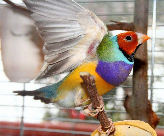 Priča se da je boja perja na glavi Gouldian Finch odražava njihovu temperament.