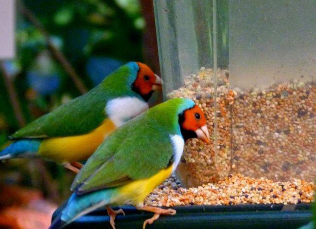 Sadržaj jedne zeba u zarobljeništvu može dovesti do toga da će ptica umre sam. Preporučuje se da se počne papagaja parova.