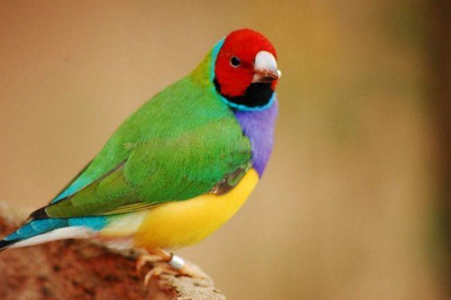Ptice instinktivno osećaju strah od crvene, tako crvenokose Finch pobjedu se bori za hranu u većini slučajeva.