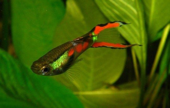 Карликовые рыбки Гуппи Эндлера