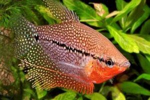 Гурами — аквариумные рыбки