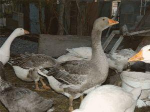 Порода ландских гусей фото