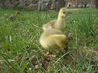Цыплята крупных серых гусей фото