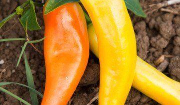 maďarskej papriky
