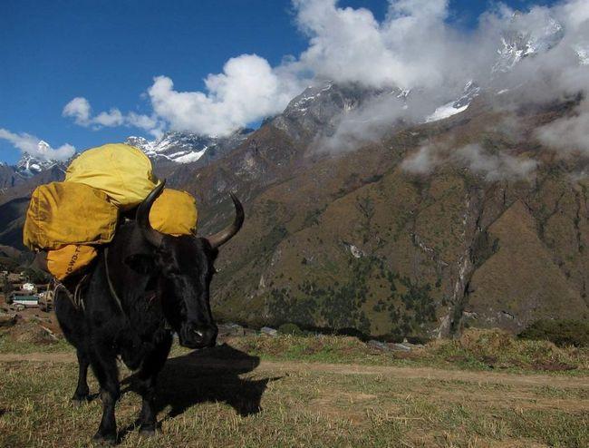 Гибриды более выносливы и продуктивны, нежели домашние коровки.