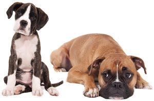 собака боксер и щенок