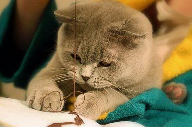 priroda britanskih mačaka