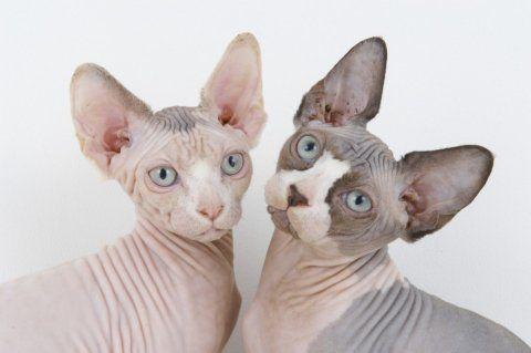 SELEKCIONARA SLAVI AS Sphynx Mačke su odali priznanje