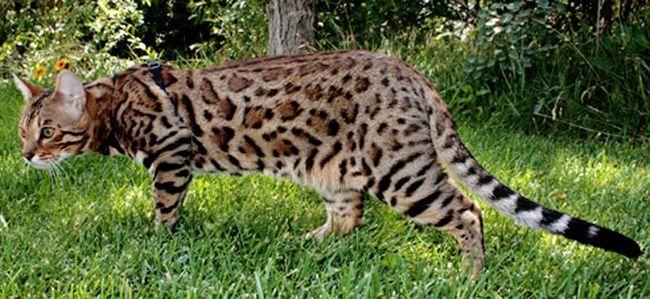 Характер кошки бенгальской породы, уход за ней и история появления